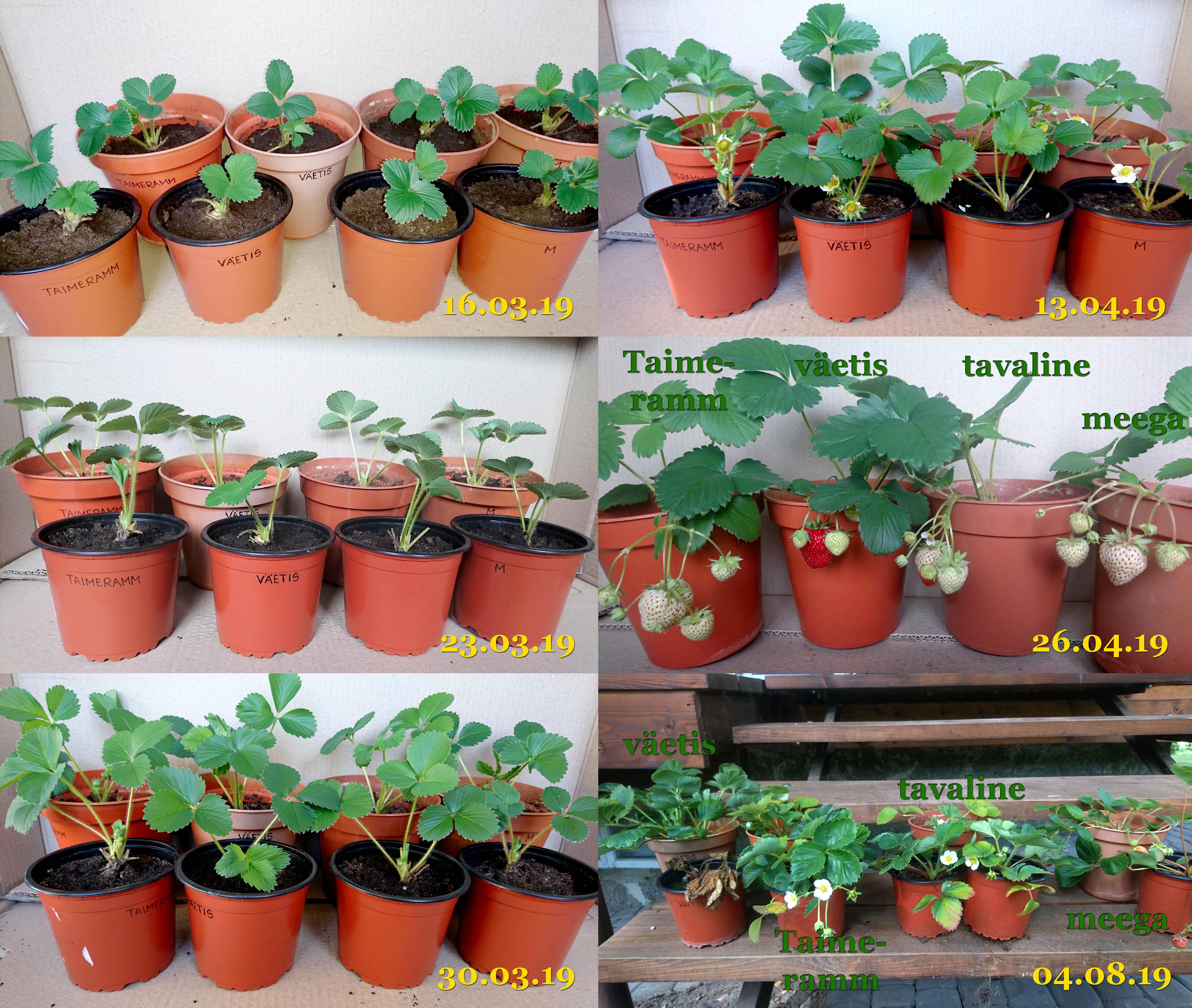 Maasikate_kasvatamise_katse